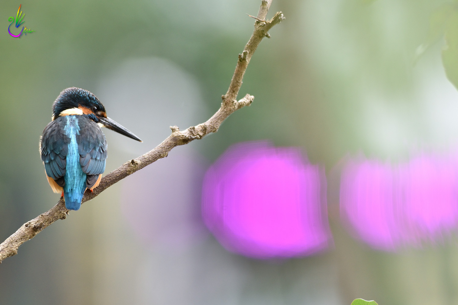 Common_Kingfisher_9382