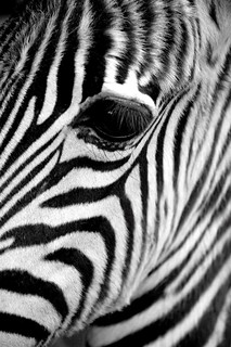 Zebra's eye [Portfolio Magazine] | by @Mark_Eveleigh