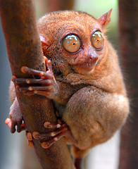 Tarsier | by Flipped Out