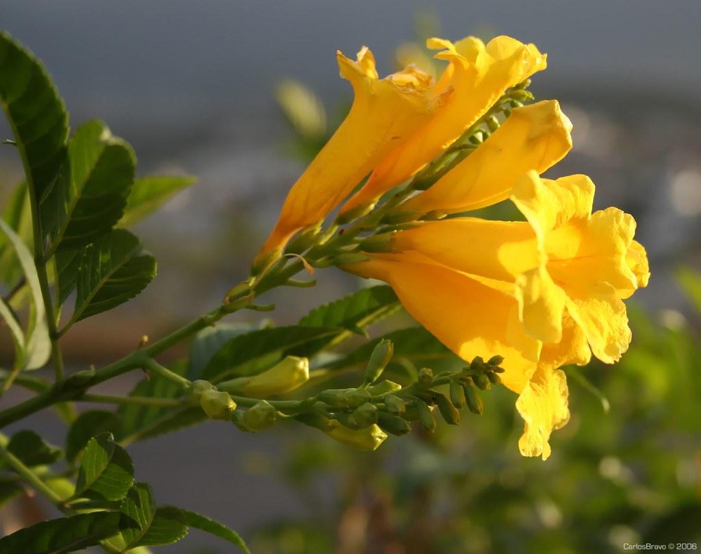 Flores amarillas yellow flowers ufo size static - Clases de flores amarillas ...
