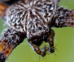This Spider Has Puppy-Dog Eyes | by Bill Adams