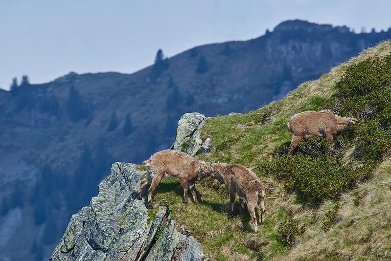 Fighting alpine ibex - Niederhorn