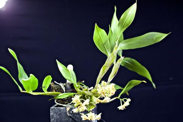 Dendrobium lamellatum 19283721549_820698796d_z
