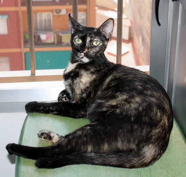 FALLECIDA- Mandala, preciosa gatita carey dulcísima de ojos verdes esterilizada, nacida en Julio´14, en adopción. Valencia. 19817224008_f8bf344c09_z