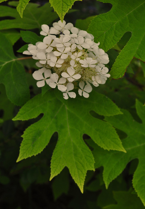 Hydrangea quercifolia 'Little Honey' (1)
