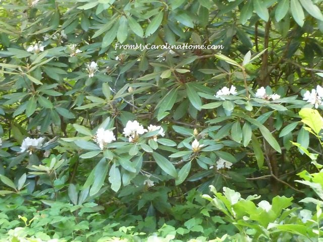 White Rhododendrons - 2