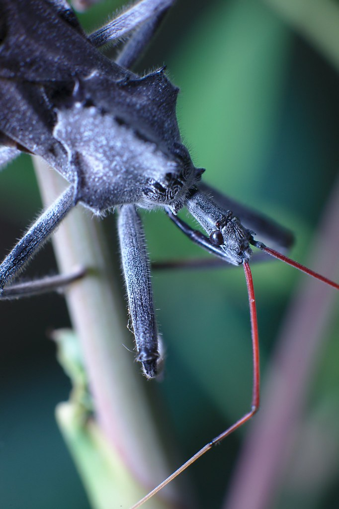 Wheel_bug_close