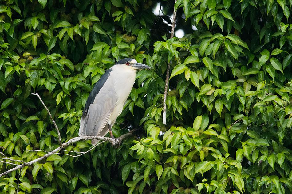 Ööhaigur, Nycticorax, Black-crowned, Night-heron, Black, crowned, Night, Heron, Black-capped, Caño, Negro, Wildlife, Refuge, Costa Rica, Kaido Rummel