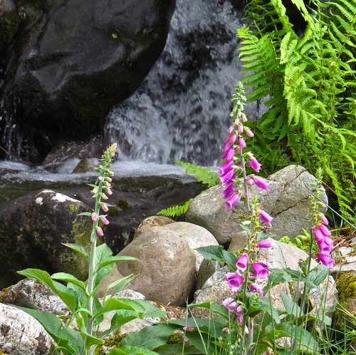 0960 Foxgloves at the stream