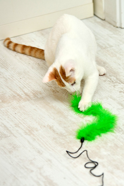 Gary, gatito blanco y naranja cruce Van Turco esterilizado muy activo nacido en Julio´16, en adopción. Valencia. ADOPTADO. 30895999843_1092becc48_z