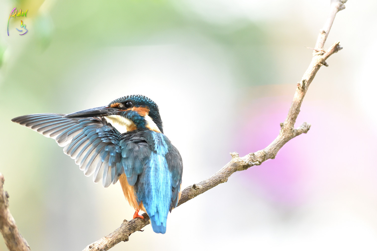 Common_Kingfisher_0544