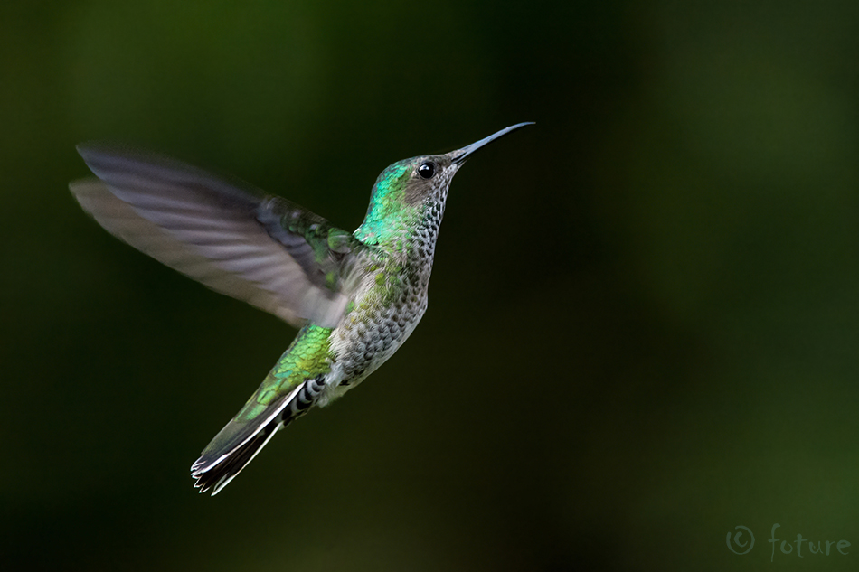 Florisuga, mellivora, White-necked, Jacobin, Great, Hummingbird, White, bellied, Collared, Sarapiqui, valley, koolibri, Costa Rica, Kaido Rummel
