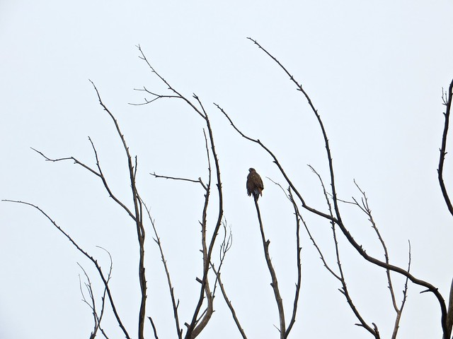 hawk waits for sun this morning