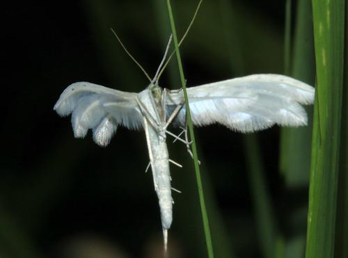 Large White Plume 9506