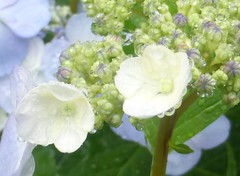 Raindrops on hydrangea