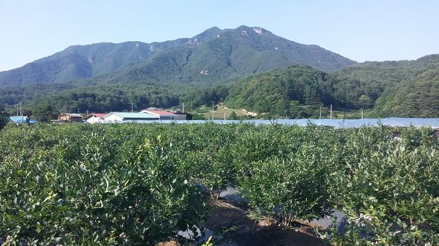 시골집 풍경--블루베리농장