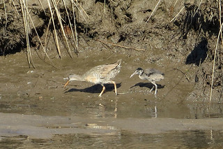 Clapper Rail | by cullerfuls