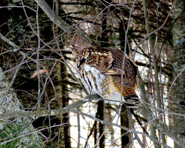 Micky - Ruffed Grouse 1