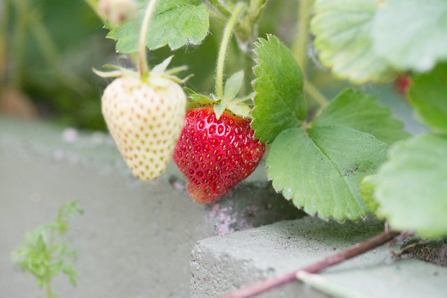 strawberries-3