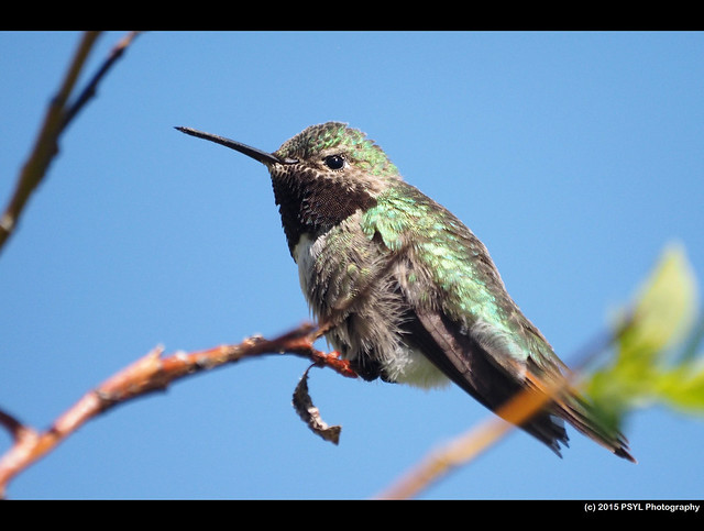 Broad-tailed Hummingbird (Selasphorus platycercus)
