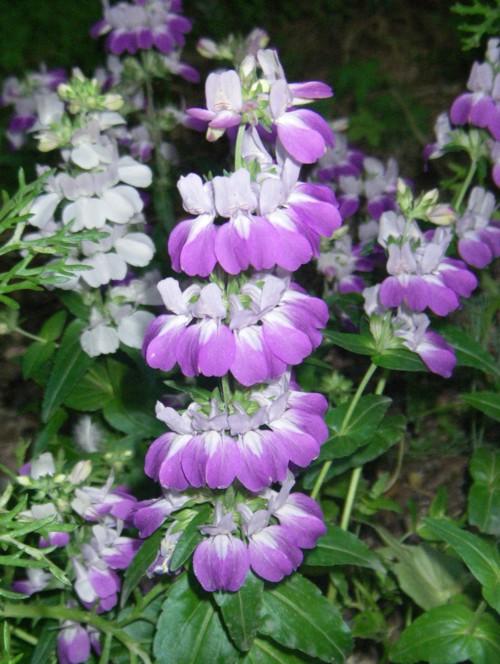 Collinsia heterophylla 19204439126_1ff0e8ea0a_o