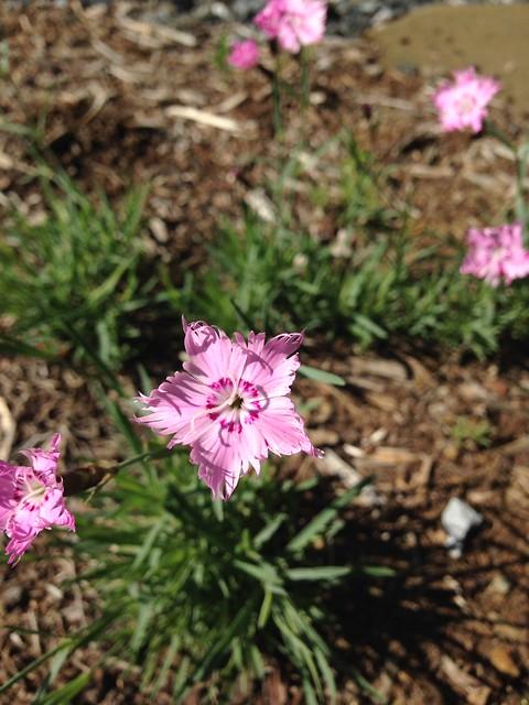 """Dianthus """"Bath's Pink"""""""