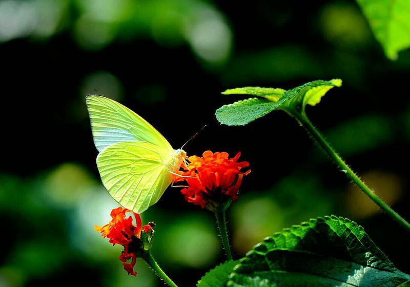 淡黃蝶並不影響生態環境。攝影:許書國