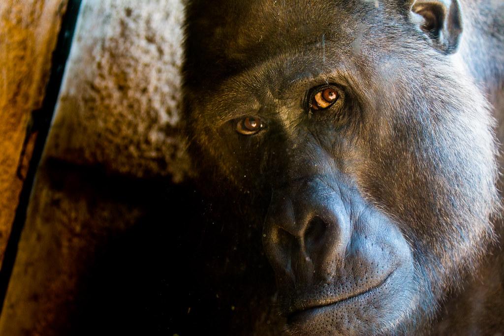 Dissertation schimpansen gorilla hannover