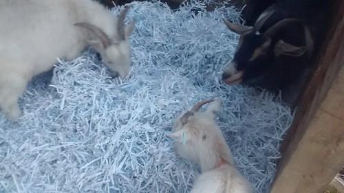 goats get extra bedding Jan 17 (1)