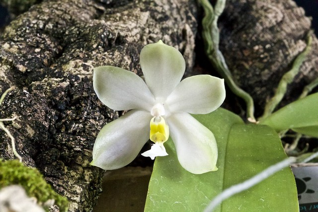 Phalaenopsis bellina alba x pulchra alba 18764321972_7f49acaf41_z
