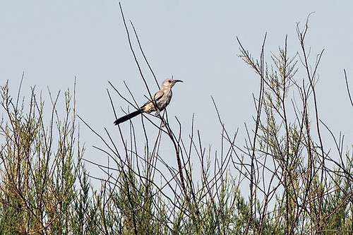 Piute Ponds: Lifer LeConte's Thrasher!