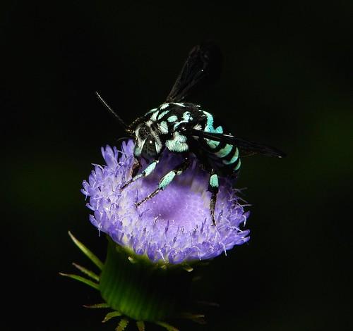 Bees Blue Blue Cuckoo Bee Thyreus