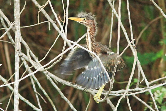 Green Heron nestling trying wings 7-20150605