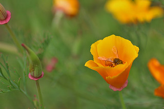 SF Botanical Garden - California poppy