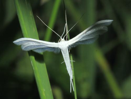 Large White Plume 9530