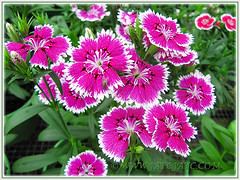 Striking variegated patterns of Dianthus barbatus (Carnation, Pink, Sweet William), Nov 3 2013