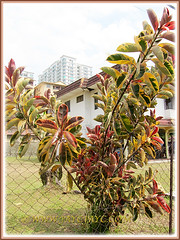 Beautiful bush of Ficus elastica 'Variegata' (Variegated Indian Rubber Tree/Fig, Variegated Rubber Fig/Tree, Variegated Rubber Plant/Bush) at a bungalow nearby, July 2 2015