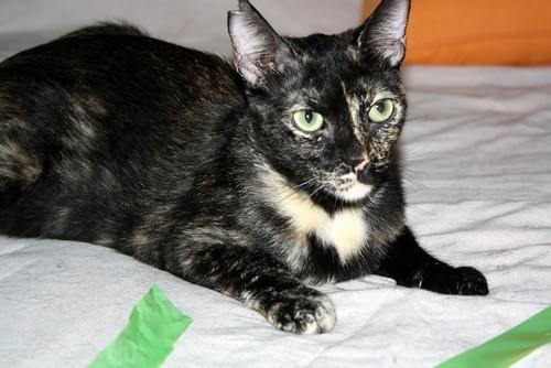 FALLECIDA- Mandala, preciosa gatita carey dulcísima de ojos verdes esterilizada, nacida en Julio´14, en adopción. Valencia. 19817259428_4838d86c00