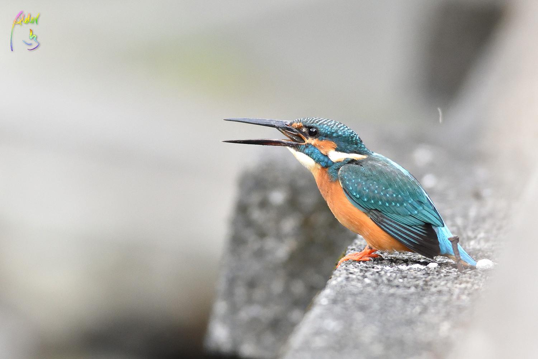 Common_Kingfisher_0908