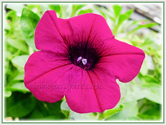 Magenta-coloured Petunia at a garden nursery in the neighbourhood, 12 Aug 2012