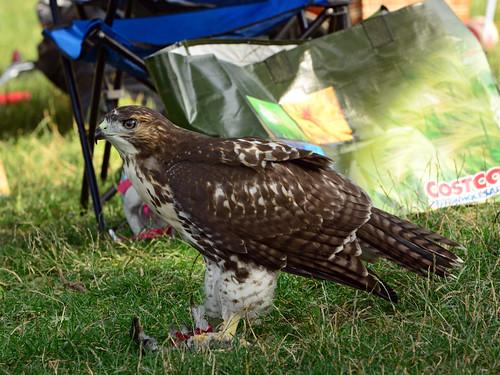 JHW Hawk Fledgling - 4331