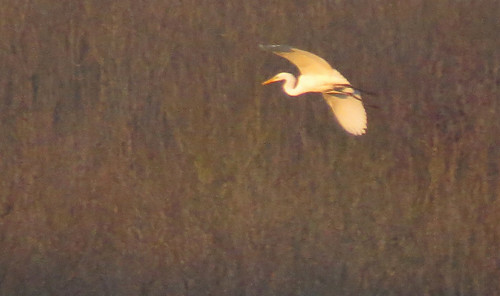 Great White Egret Ardea alba Tophill Low NR, East Yorkshire December 2016