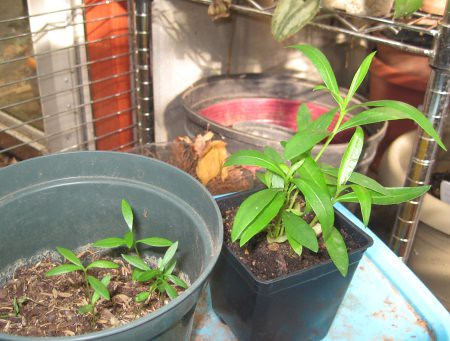 oleander_grown_seedlings