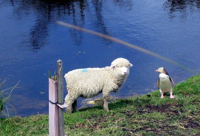 Penguin vs Sheep