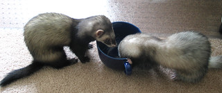 Ferrets love soy milk | by cori kindred