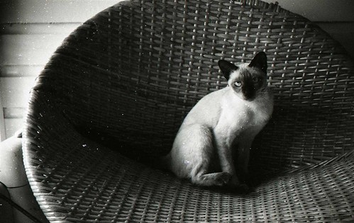 Siamese on the wicker chair, 1957 | by Patrick Q
