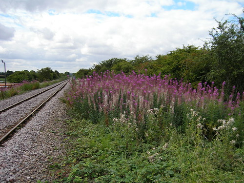 Rosebay Willowherb | by D H Wright