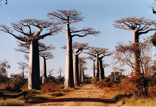 Route nationale Madagascar, l'allée des Baobabs | by litutuc