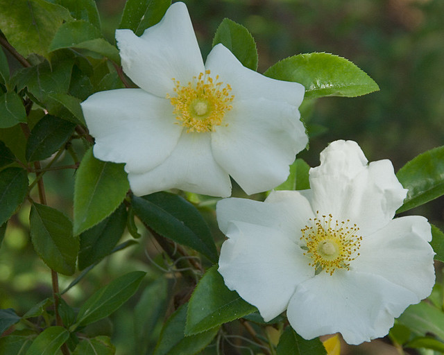 Cherokee Rose Flickr Photo Sharing