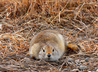Gopher Lying Low | by BugMan50